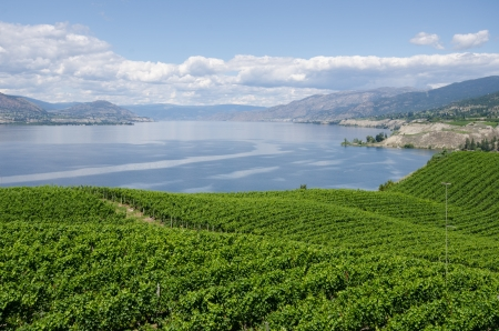 Vineyards on the Naramata Bench overlooking Okanagan Lake in British Columbia