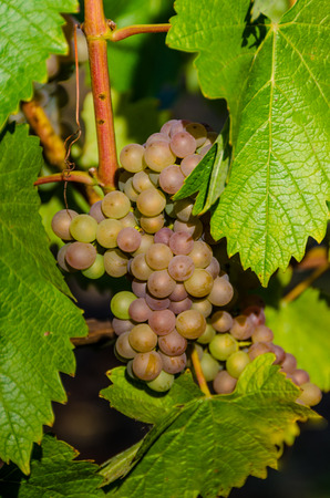 bacchus: Closeup of Bacchus grapes ready for harvest