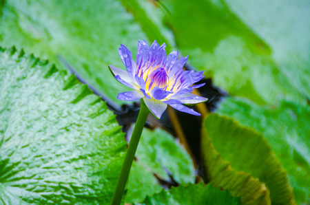 egyptian lily: Purple Egyptian water lily or sacred blue lily surrounded by green lily pads