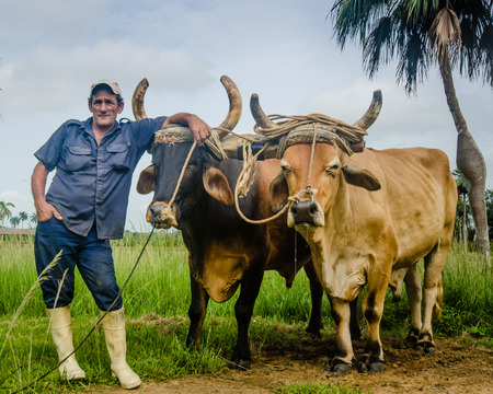 oxen: Havana, Cuba, June 18, 2016 - Farmer poses with his oxen which are still used to till the soil on his farm due to the severe lack of agricultural equipment in this Caribbean nation.