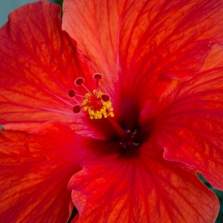 Close-up of beautiful blood-red hibiscus bloom with yellow pollen covering its stamen. Banco de Imagens - 84036977