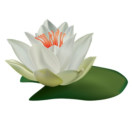 white lotus isolated on a white background Stock Vector - 9361798