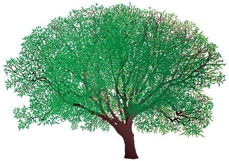 tree canopy: green tree isolated on a white background