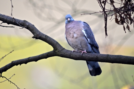 interested: Interested wood pigeon on a branch