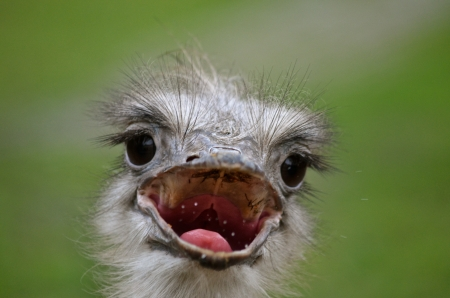Close up of an ostrich face with open beak photo