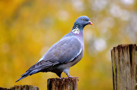 Common wood pigeon photo