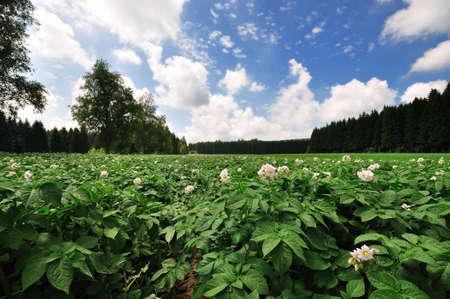 potato field with white blossoms