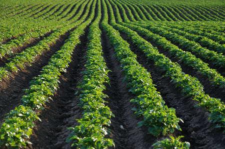 rows of green potato bushes