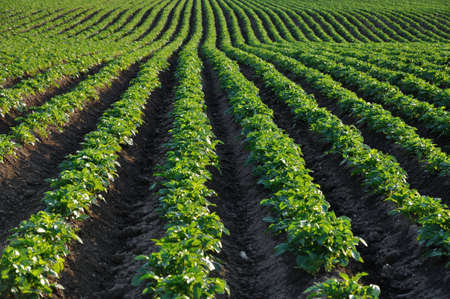 potato: rows of green potato bushes