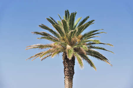 palm tree against blue sky Stock Photo - 5706255