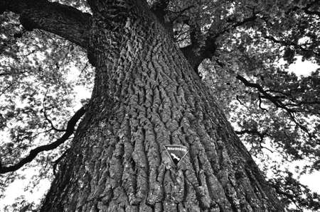 detail of the tree top from an oak Stock Photo