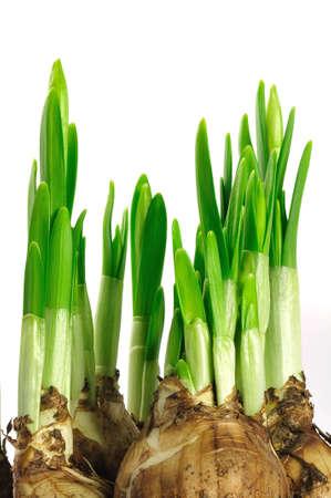daffodil bulbs with flower stems  Stock Photo