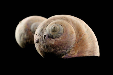 snail shell on black background