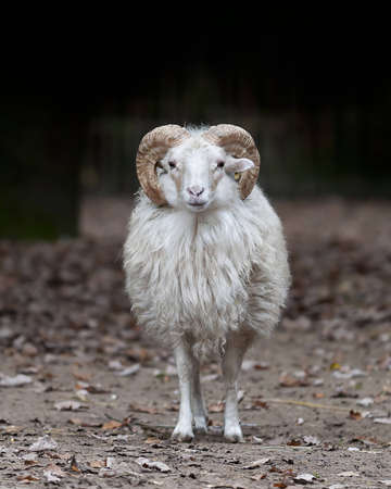 sheep wool: portrait of a sheep ram Stock Photo