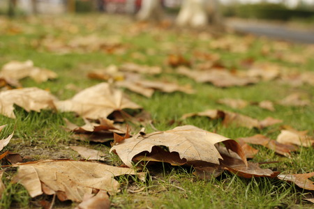 sycamore leaf: Fallen leaves