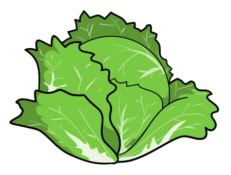 Cabbage, a hand drawn vector illustration of a fresh cabbage, isolated on a white background editable.