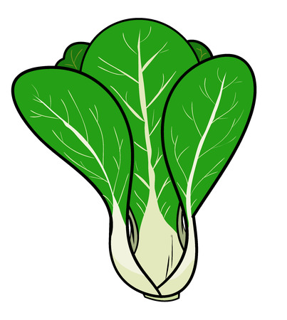 Pak ChoiBok Chay Chinese Cabbage, a hand drawn vector illustration of a fresh pak choi also known as chinese cabbage, isolated on a white background editable.