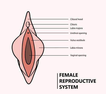 Vagina illustration, a hand drawn vector illustration of a female reproductive system.