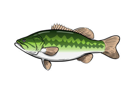 Largemouth bass fish, hand drawn vector illustration of a largemouth bass game fish, isolated in white background. Vektorové ilustrace