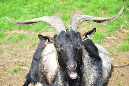 quizzical: Quizzical hablar de cabra