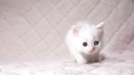 kitten with heterochromia color white