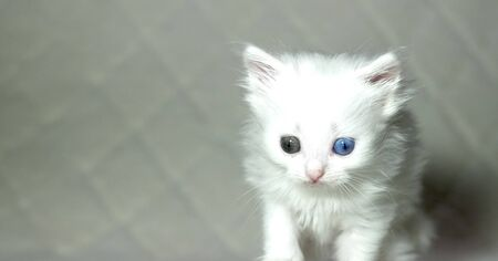 kitten with heterochromia color white
