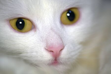 white cat with yellow eyes close-up low light Stock Photo