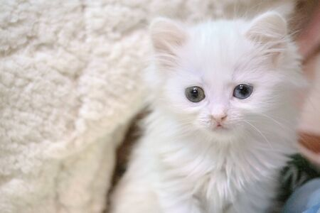 white kitten with heterochromia color