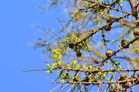 photo of larch cones on a branch color