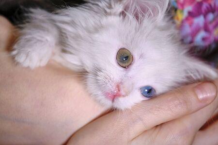 kitten with heterochromia on the hand s close-up low light Reklamní fotografie