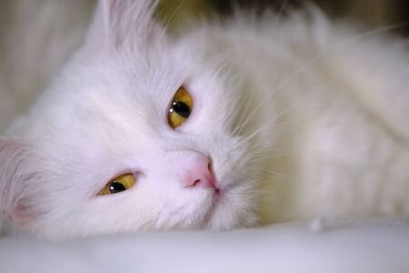 white cat with yellow eyes lies on its side