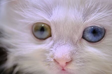 kitten Turka angora with geretochromia