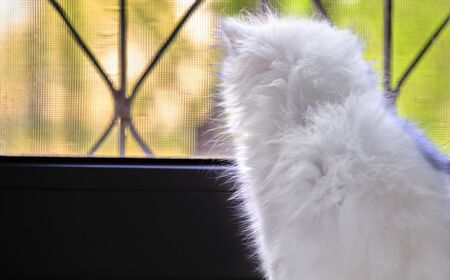 White kitten looks out the window