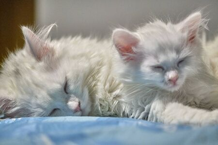 two white cats sleep in each other's arms Stock fotó