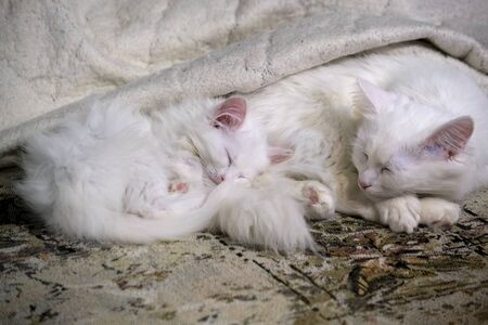 two White Kitten's Sleeps Close-Up color