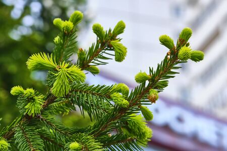young branch spruce up close-up color 版權商用圖片