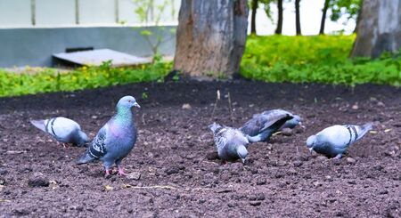 pigeons eat on the ground general plan color