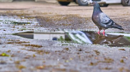 a pigeon stands near a puddle general plan color 版權商用圖片