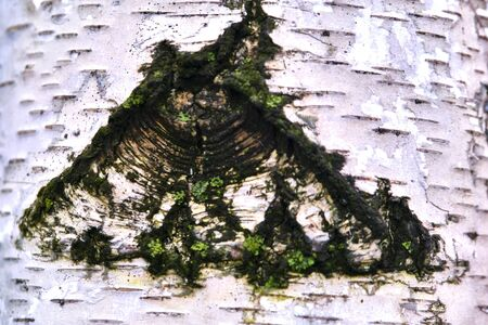 texture of birch bark macro Фото со стока