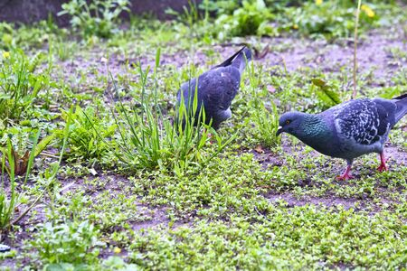 two street pigeons looking for food on the ground
