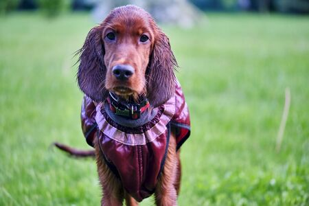 Irish Setter standing in the meadow general plan