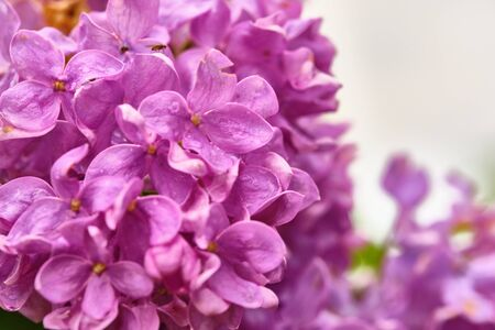 Beautiful flowering branch of lilac flowers close-up macro shot with blurry background. Spring nature floral background, pink purple lilac flowers. Greeting card banner with flowers for the holiday color 免版税图像