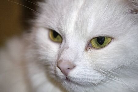 portrait of a white cat with yellow eyes