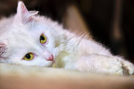 cat with white eyes lying on its side blur background