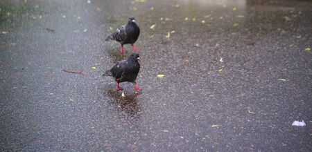 two street pigeon goes on the asphalt Archivio Fotografico
