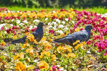 street pigeons walk on flowerbeds