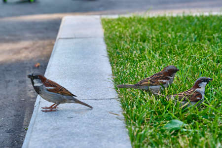 sparrows looking for food in green grass. general plan.