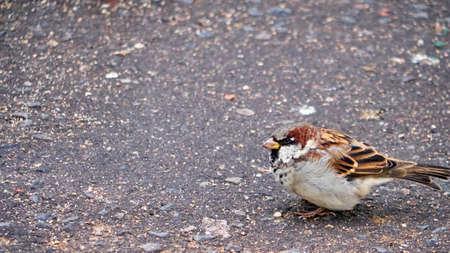 Sparrow bird with one eye on a stoned street Stockfoto