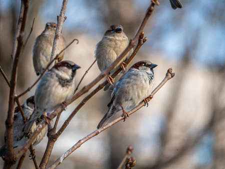 STREET brown sparrows perch on a branch, birds in the thick branches of an acacia tree. Wild and free nature. photo animalism. artistic blurring
