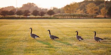 dabbling: Wild ducks walking on grass